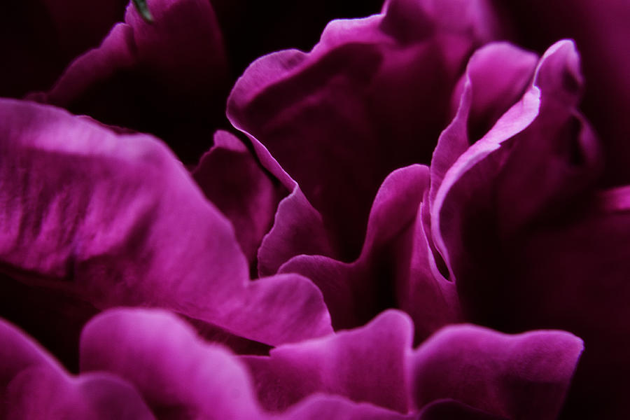 Flower Photograph - Peony Petals by Scott Hovind
