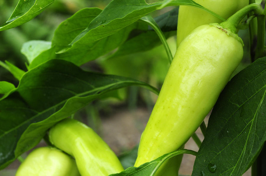 Banana Peppers Photograph - Pepper Crop by Wanda Brandon
