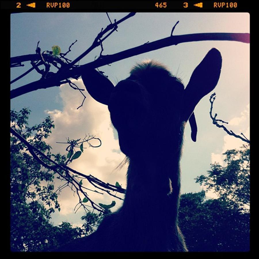 Pepper The Goat Photograph by Dana Coplin