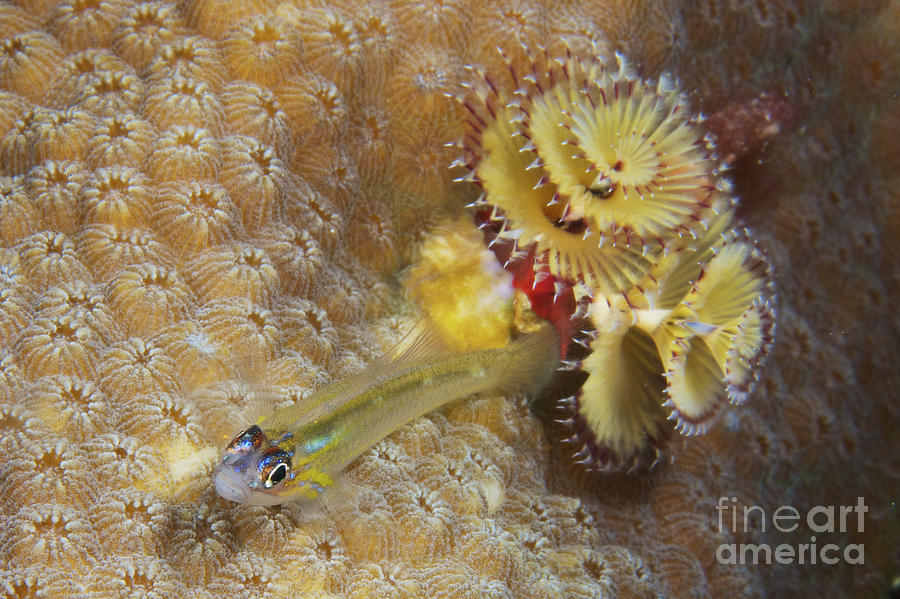 Bonaire Photograph Peppermint Goby And Christmas Tree Worm By Terry Moore