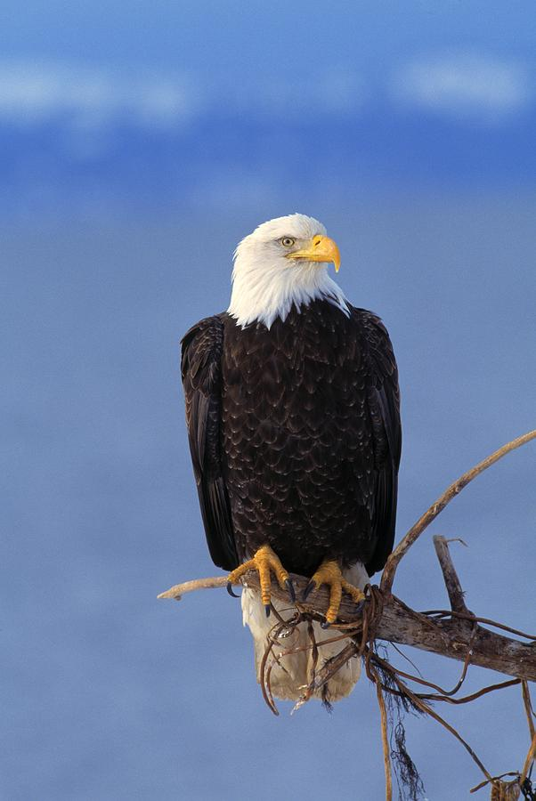 Animal Photograph - Perched Bald Eagle by Natural Selection David Ponton