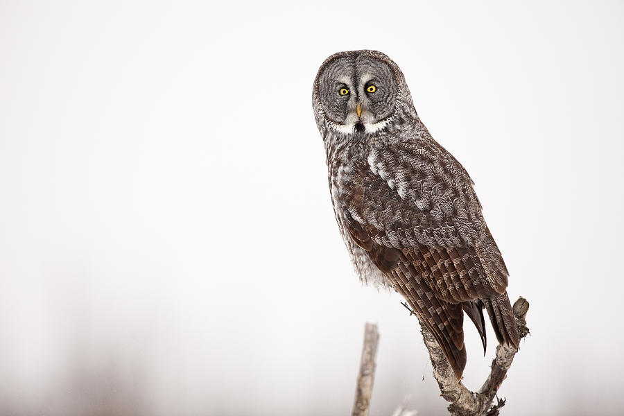 Alaska Photograph - Perched Great Gray Owl by Tim Grams