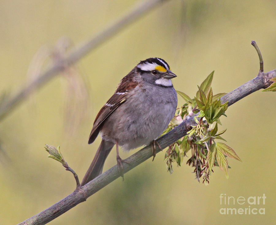 White-throated Sparrow Photograph - Perched White-throated Sparrow by Chris Hill