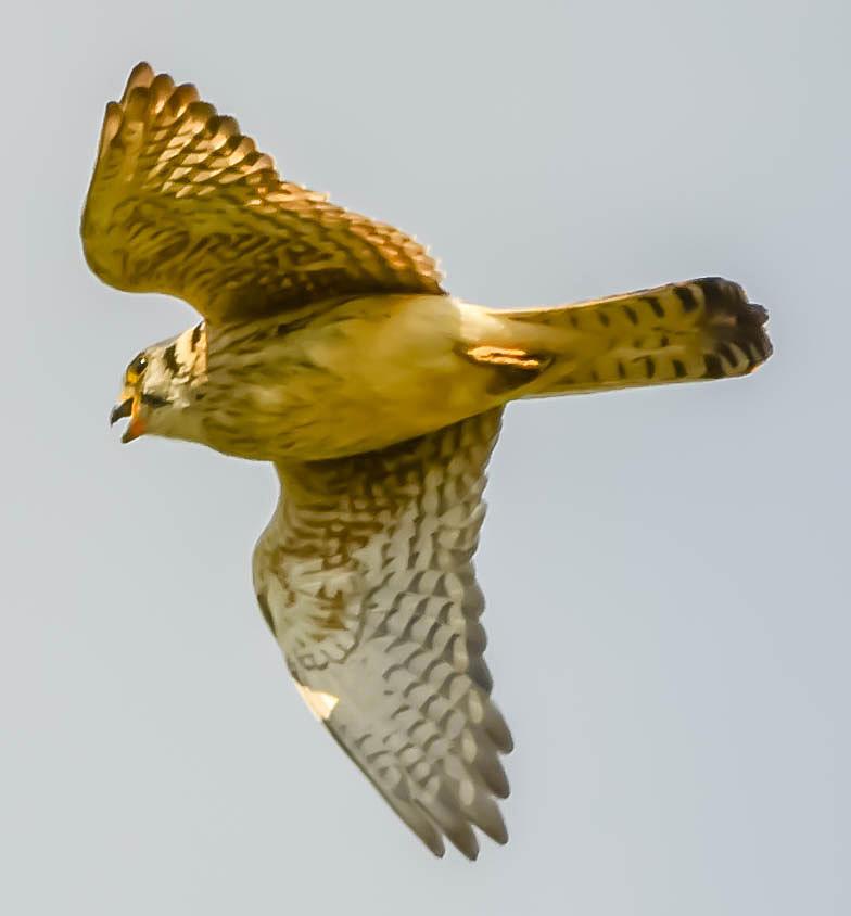 Peregrine Falcon Photograph by Brian Stevens