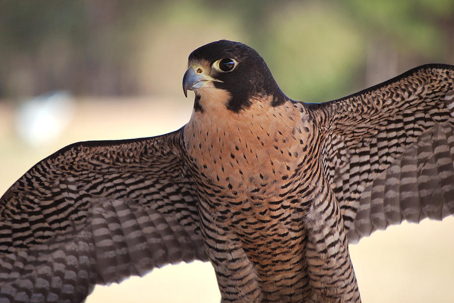 Falcon Photograph - Perfection Defined by Adele Moscaritolo