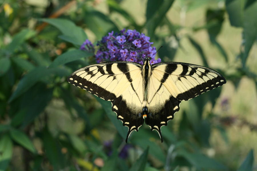 Butterfly Photograph - Perfectly Aligned Butterfly On Butterfly Bush by Bonnie Boden