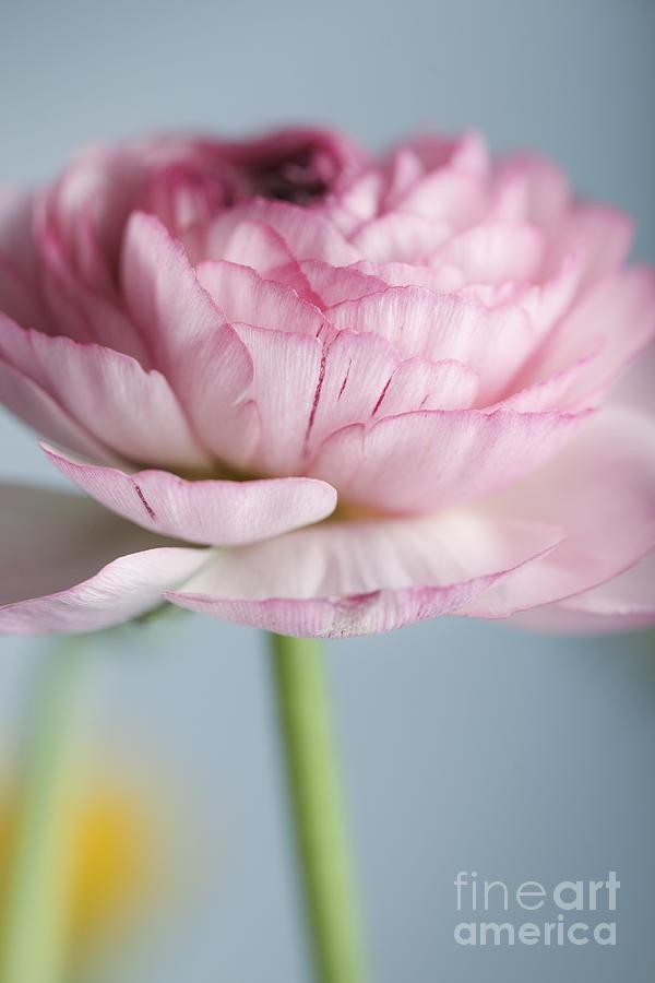 Persian Photograph - Persian Buttercup by Nailia Schwarz