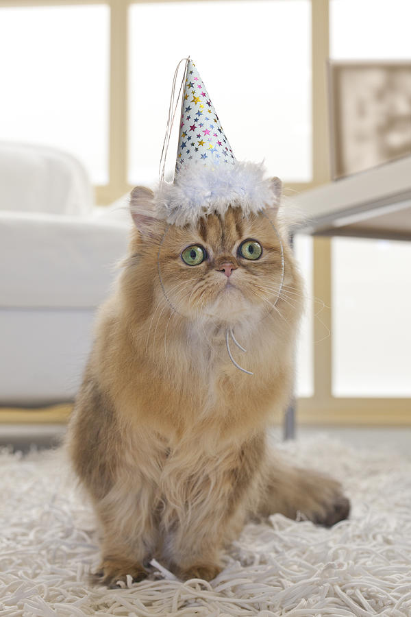 Persian Cat Wearing Party Hat In Living Room Photograph By GK Hart