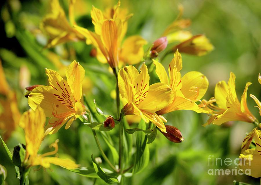 Peruvian Lily Alstroemeria Aurantiaca Photograph By Bob Gibbons