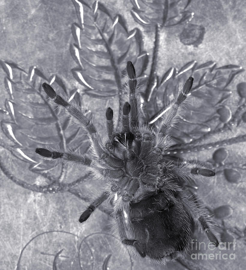 Tarantula Photograph - Pet Rose Hair Tarantula On Antique Silverplate by Janeen Wassink Searles