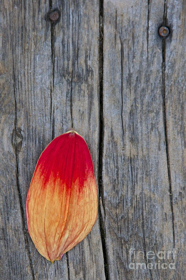 Sean Griffin Photograph - Petal On Wood by Sean Griffin