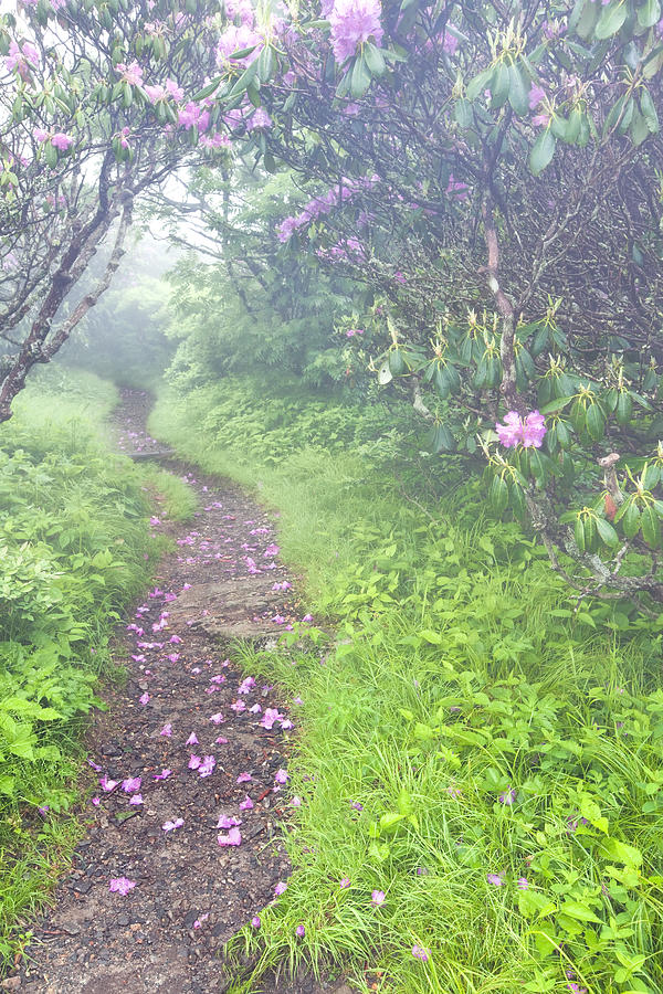 Rhododendrons Photograph - Petaled Path by Rob Travis