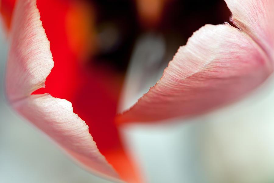 Petal Photograph - Petals by Karol Livote