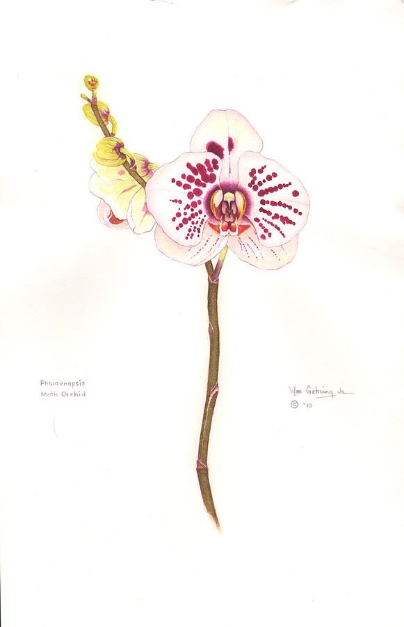 Orchid Painting - Phalaenopsis   Moth Orchid by Bill Gehring