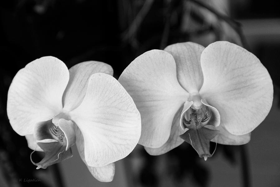 Phalaenopsis Orchid In Black And White Photograph by Kerri ...