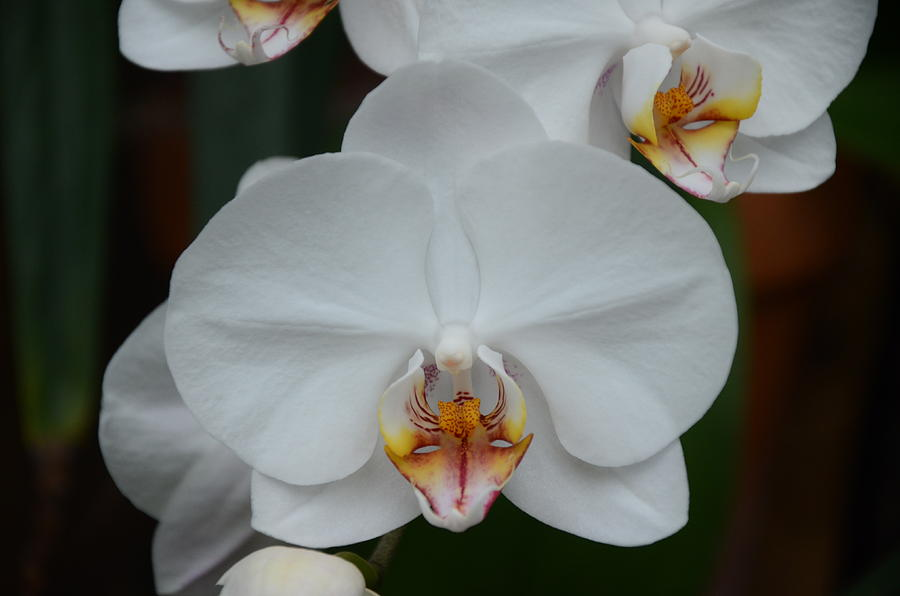 Phalaenopsis Photograph - Phalaenopsis Orchid by Michael Carrothers