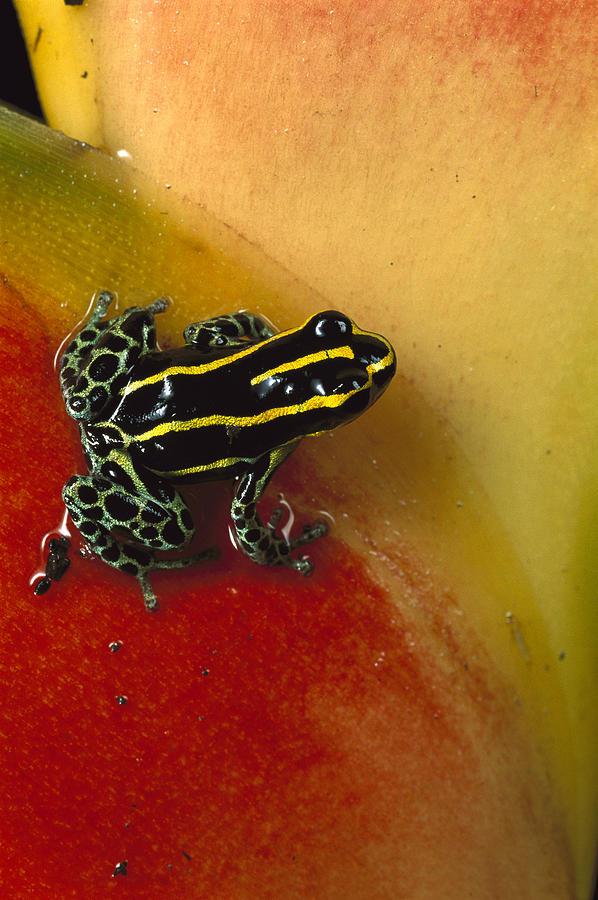 Phantasmal Poison Dart Frog Photograph by Mark Moffett