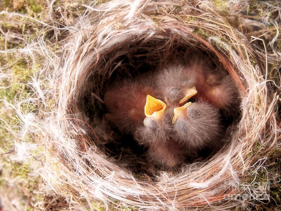 Phoebe Photograph - Phoebe Babies In Nest by Angie Rea