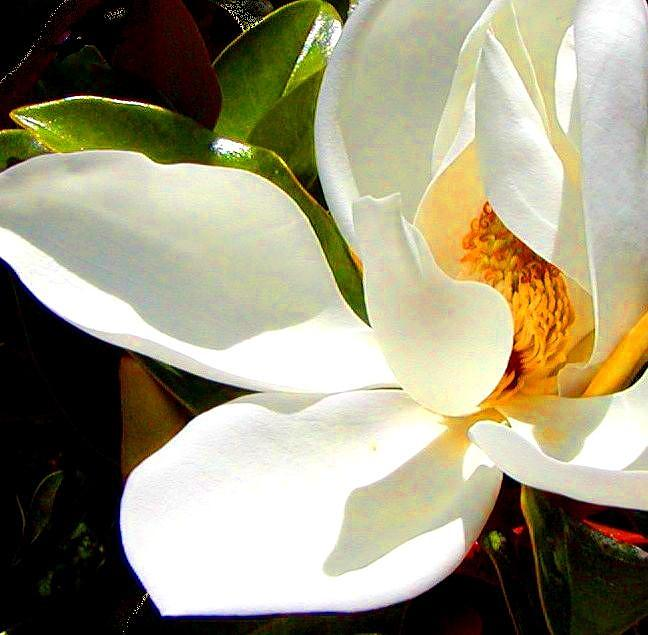 Photo For Sydneys Magnolia Painting Photograph By Roena King