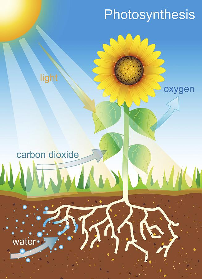 Plant Photograph - Photosynthesis, Illustration by David Nicholls