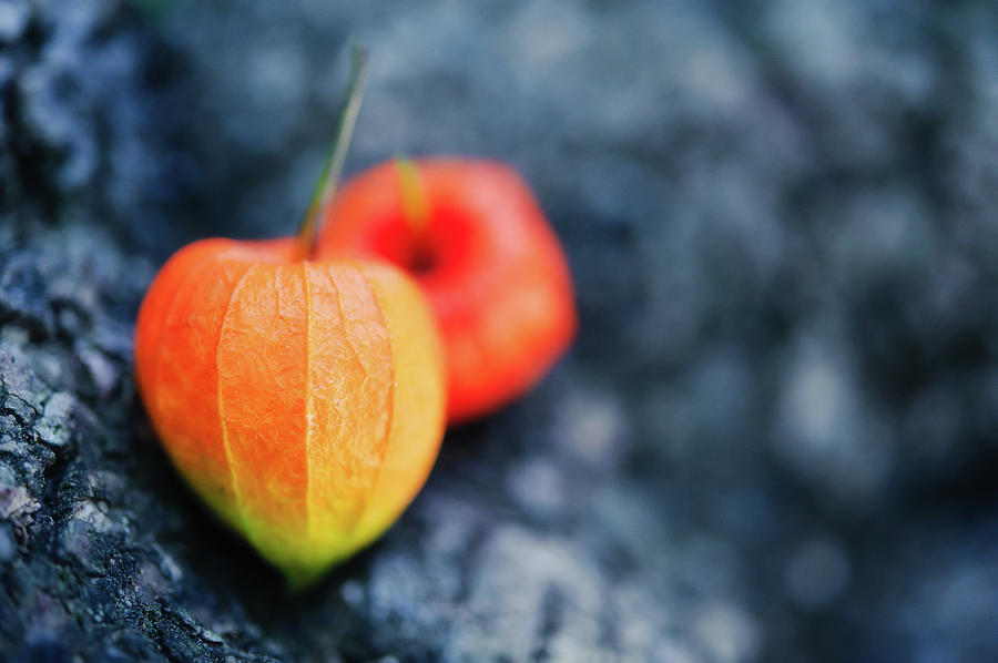 Horizontal Photograph - Physalis Alkekengi On Tree Bark by Alexandre Fundone
