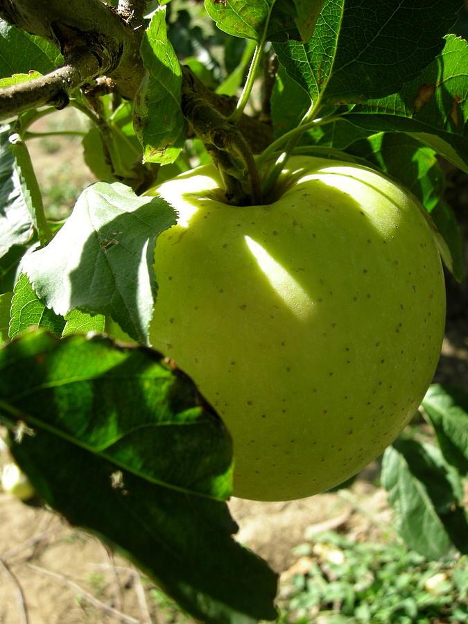 Apple Photograph - Pick Me by Robert Barwegen