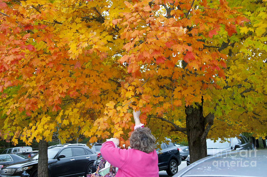 Autumn Leaves Photograph - Picking Autumn Leaves 3982 by Charles  Ridgway