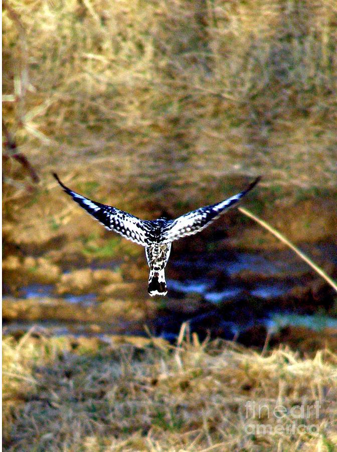 Birds Photograph - Pied Kingfisher In Flight by Louise Peardon