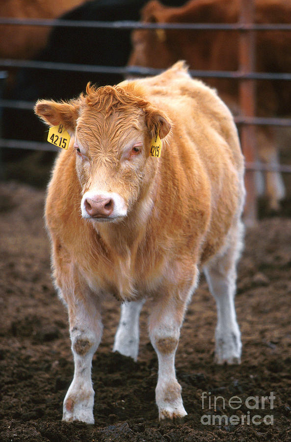 Cow Photograph - Piedmontese-hereford Crossbred Calf by Science Source
