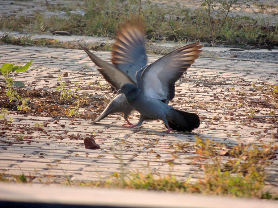 Pigeons Fighting Pyrography by Ramesh Chand