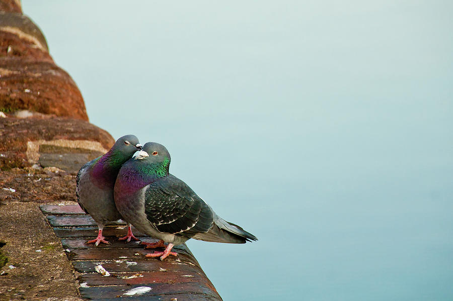 Horizontal Photograph - Pigeons In Love by Image by J. Parsons