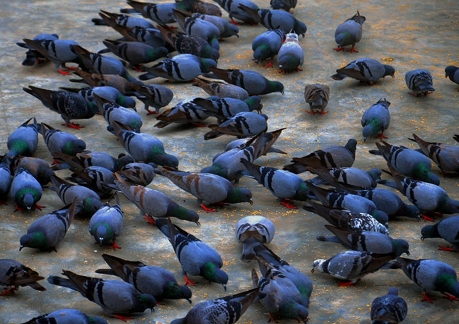 Pigeons Photograph by Johnson Moya