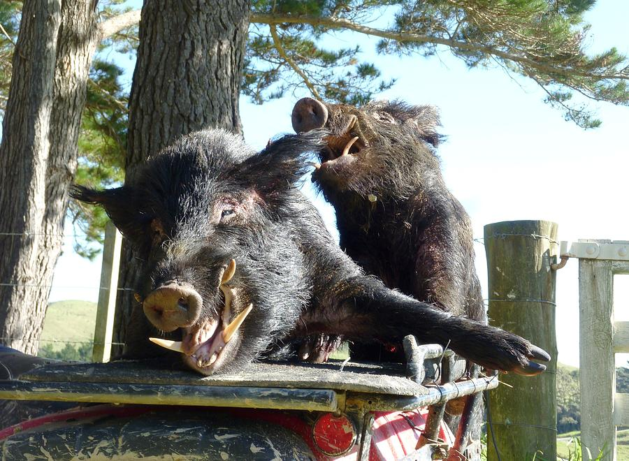 Wild Pig Photograph - Piggy Back Smiley Hitch Hikers by Dianne  Connolly