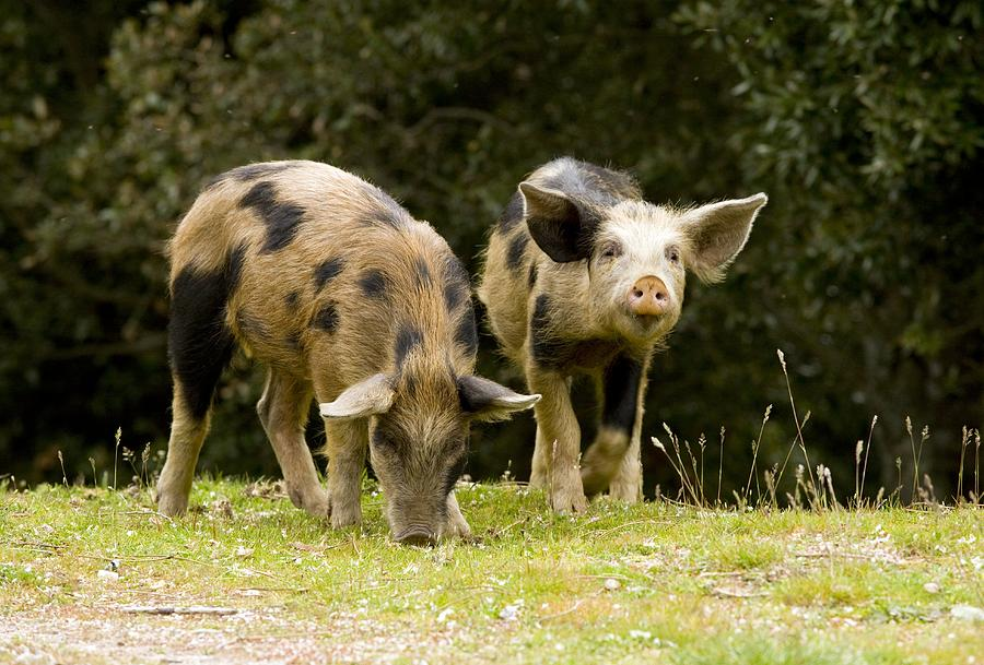 Piglets Photograph - Piglets Foraging In Woodland by Bob Gibbons