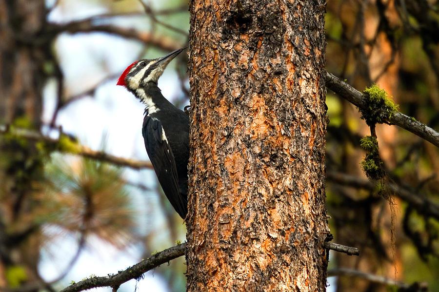 Bird Photograph - Pileated Woodpecker - Dryocopus Pileatus by Merle Ann Loman