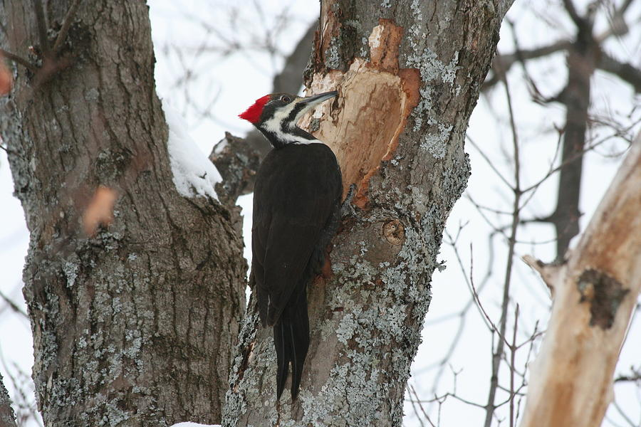 Bird Photograph - Pileated Woodpecker by Dr Carolyn Reinhart