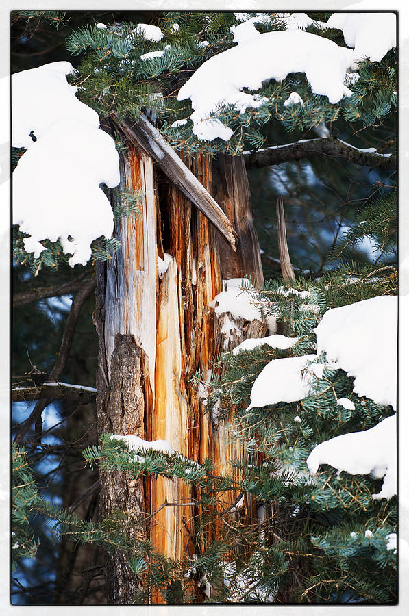 Pine Trees Photograph - Pine Bark by Lisa  Spencer