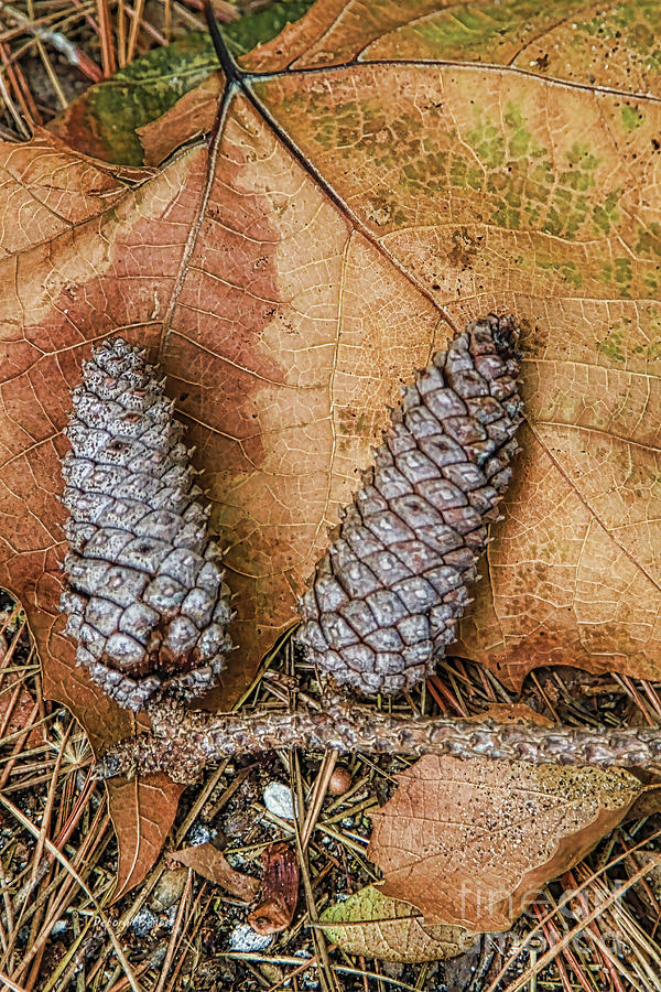Leaves Photograph - Pine Cones And Leaves by Deborah Benoit