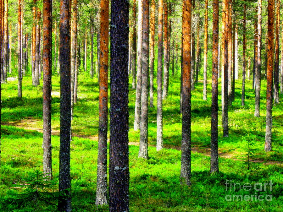 Pine Forest Canvas Prints Photograph - Pine Forest by Pauli Hyvonen