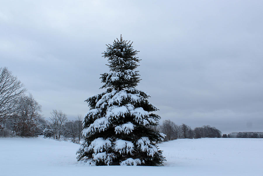 Pine tree covered in snow photograph by janet mcconnell - Images of pine trees in snow ...