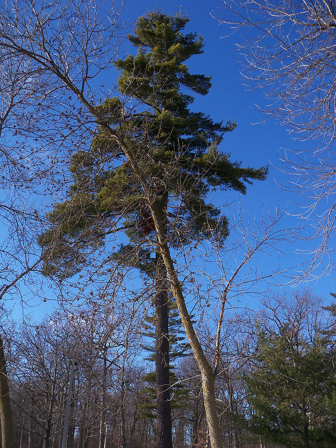 Trees Photograph - Pine Tree Standing Tall by Corinne Elizabeth Cowherd