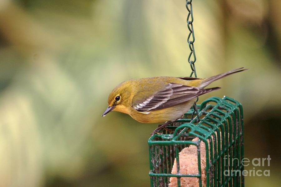 Wildlife_pine Warbler 3 Photograph