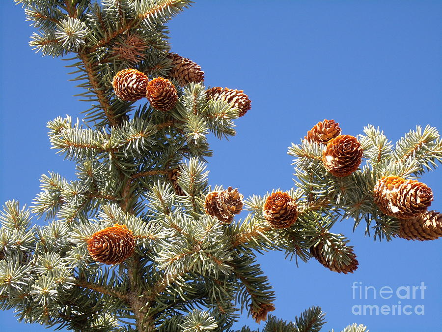 Christmas Photograph - Pinecones For Christmas by Donna Parlow
