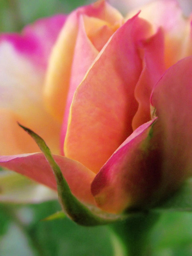 Rose Photograph - Pink And Orange Mini Rose by Robin Cox