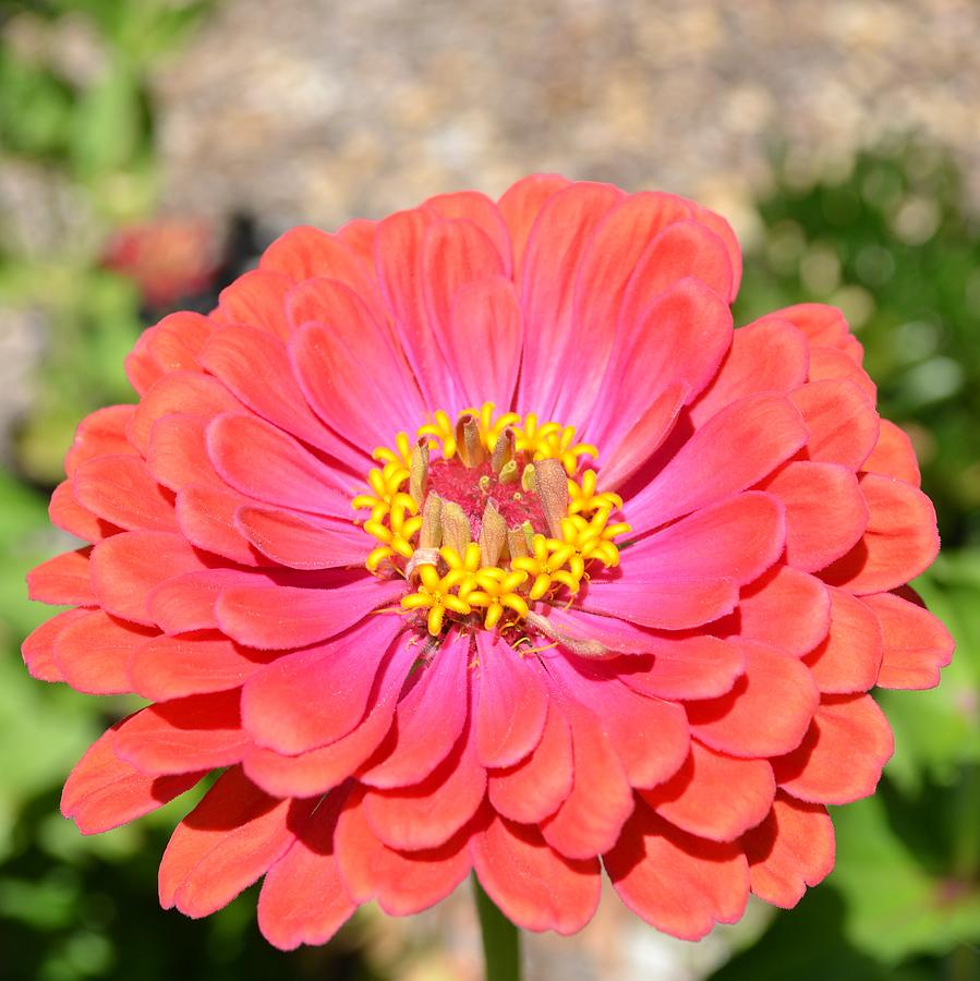 Pink And Peach Zinnia Flower Photograph By P S