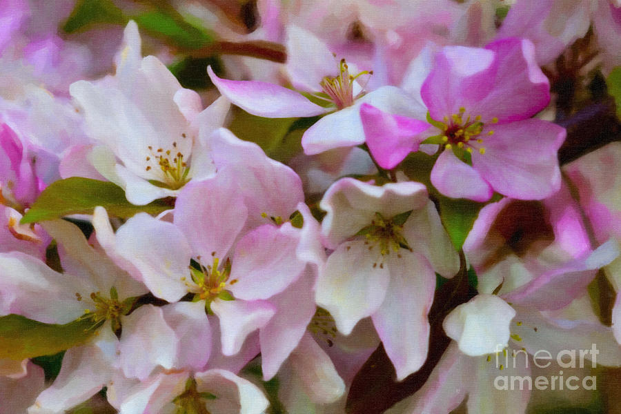 Landscape Photograph - Pink And White Crabapple Blossoms by Donna Munro