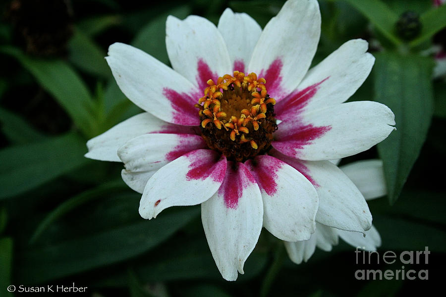 Outdoors Photograph - Pink And White by Susan Herber