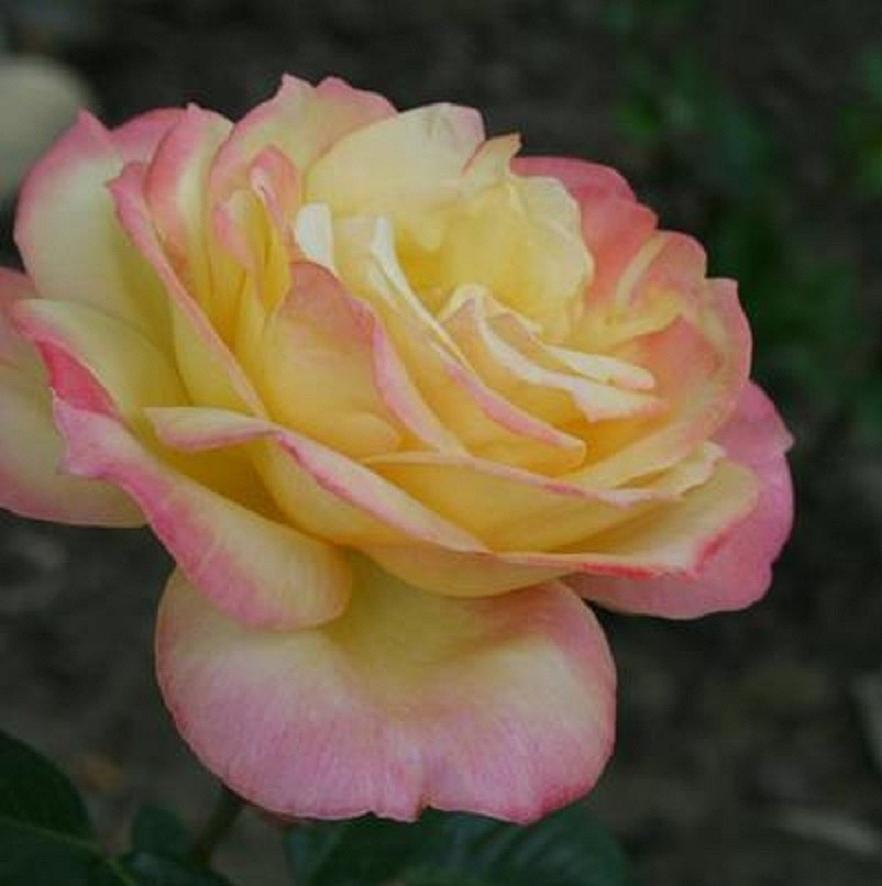 Bildergebnis für roses yellow pink