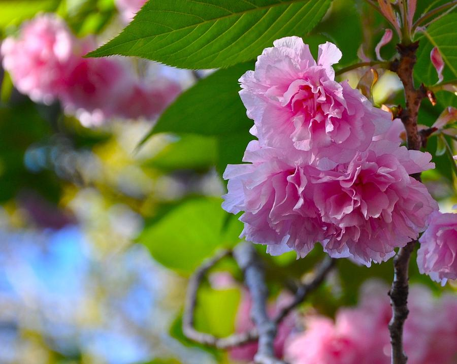 Pink Blossom Photograph by Lori Kesten