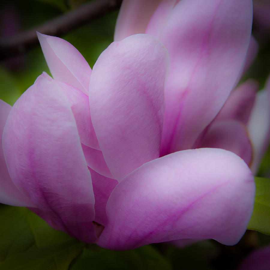 Blossom Photograph - Pink Blossoms by David Patterson